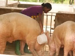 Pig farm business plan