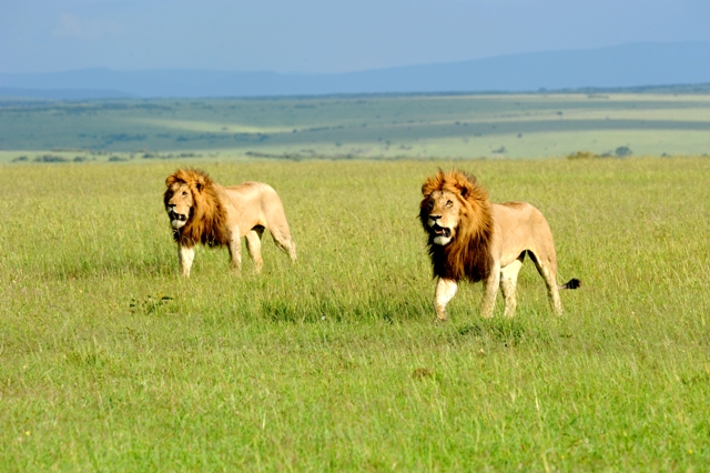 lion territory wars photographed by Susan Wong 2012 mature males backup