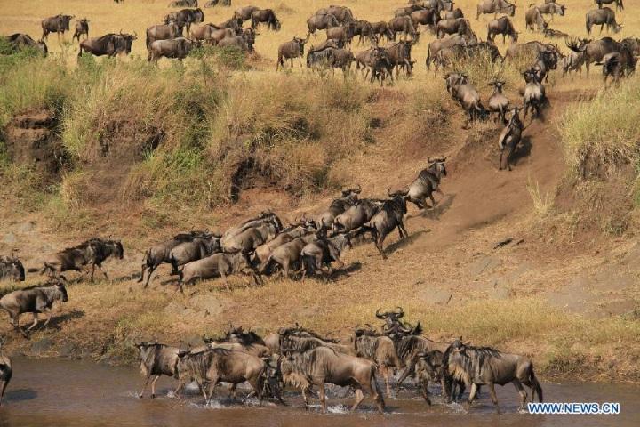 Migrating gnus run across the Mara River at Masai Mara National Reserve in Kenya, July 31, 2012. 1