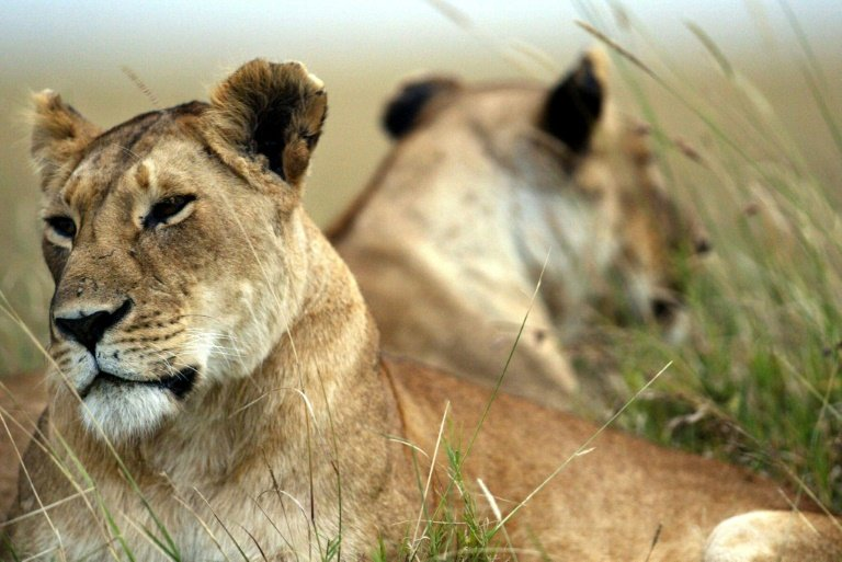afp-lion-numbers-could-be-halved-across-africa-by-2035-study-warns