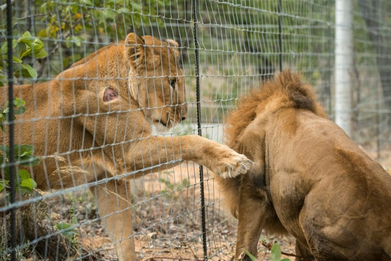 afp-rescued-circus-lions-take-first-steps-on-african-veld