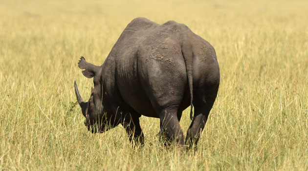 South Africa is home to around 20,000 rhinos, around 80 percent of the worldwide population/XINHUA-File