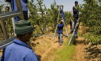 Farm workers remove some of the early fruit from trees close to Ceres/AFP