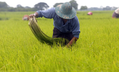 The China National Rice Research Institute conducts research to improve rice yields, grain quality and pest resistance cost-effective rice cultivation technologies/XINHUA FILE