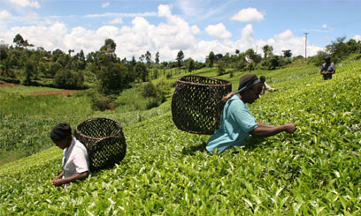 The high volume of tea produced  was occasioned by sufficient rainfall for most parts of last year/FILE