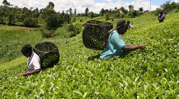 TEA PICKING 2 - KTDA Managed Smallholder Tea Factories to pay Sh69.77bn