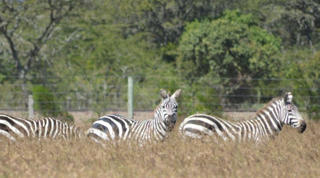 KWS has seeded a herd of gazelles and zebras at the vast Mt Kenya Holiday Homes Naro Moru site/FILE