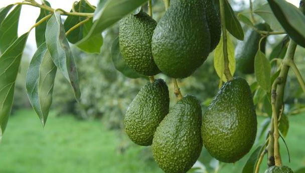AVOCADO - EMBU County secures export market for agro-produce valued at Sh1.2B