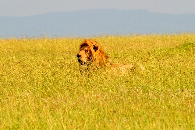 lion territory wars photographed by Susan Wong 2012 mature male in grass