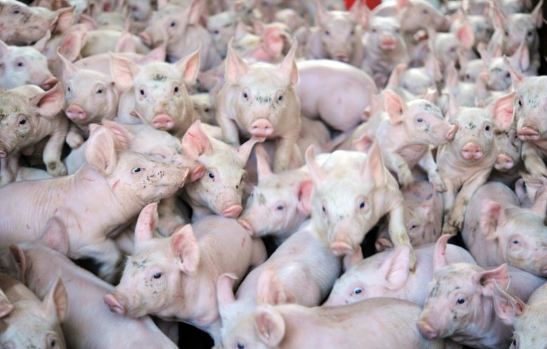 afp-pig-hearts-may-save-human-lives-researchers