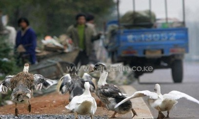 Ducks wander along the side of the road on the outskirts of Anqing, on November 18, 2005/AFP