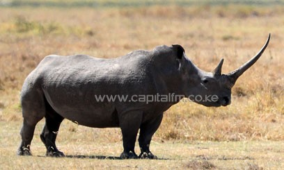 Rhinos are among those being targeted by poachers in Kenya. Photo/ XHINUA