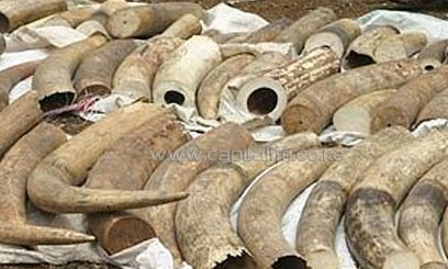 The ivory had been stashed in 69 bundles of several pieces and had been disguised as sun dried fish maws with a pungent smell intended to throw off sniffer dogs/FILE