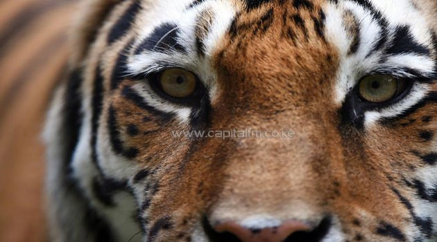 A close up photo of a tiger/FILE
