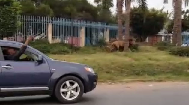 Those interviewed by Capital FM News say they fear for their lives after dozens of sheep were mauled by a lion on Thursday before the man was injured on Friday morning/COURTESY