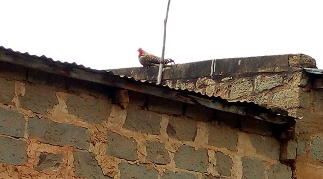 ROOSTER-ON-ROOF
