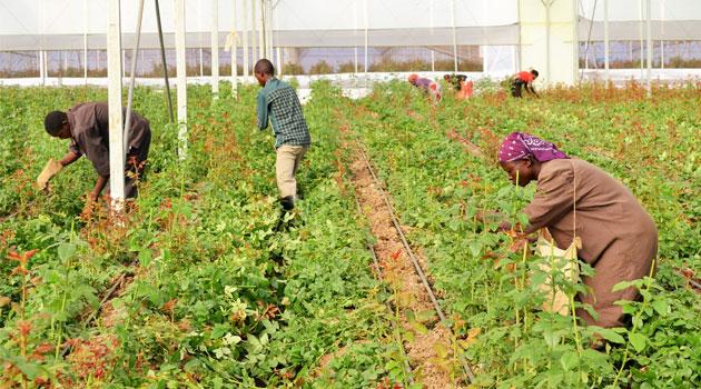 FLOWER CITY YATTA - Finlays Kenya to close 2 farms in Kericho